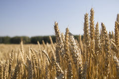 Campo y día soleado de oro de trigo Imágenes de archivo libres de regalías
