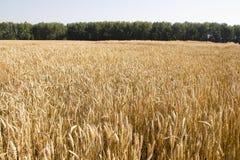 Campo y día soleado de oro de trigo Fotos de archivo