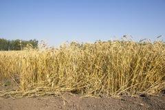 Campo y día soleado de oro de trigo Imagen de archivo