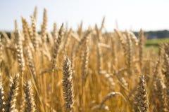 Campo y día soleado de oro de trigo Imagenes de archivo