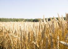 Campo y día soleado de oro de trigo Fotos de archivo libres de regalías