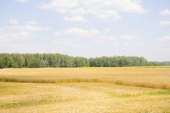 Campo y día soleado de oro de trigo Fotografía de archivo