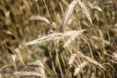 Campo y día soleado de oro de trigo Imagen de archivo libre de regalías