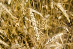 Campo y día soleado de oro de trigo Fotografía de archivo libre de regalías