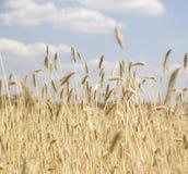 Campo y día soleado de oro de trigo Foto de archivo libre de regalías