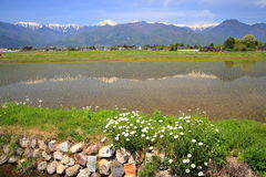 Campo y flor de arroz Imágenes de archivo libres de regalías