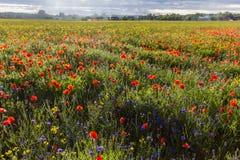 Campo y campo floreciente de la amapola Imágenes de archivo libres de regalías