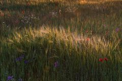 Campo y flores soleados de trigo imagen de archivo