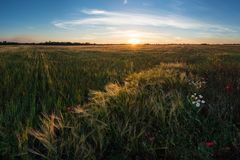 Campo y flores soleados de trigo imagenes de archivo