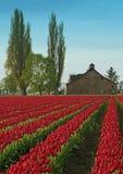 Campo y granero del tulipán foto de archivo libre de regalías