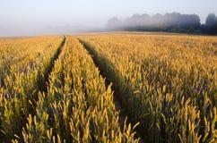 Campo y niebla de trigo del extremo del verano Fotos de archivo