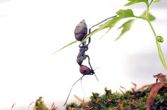Camponotus singularis 免版税库存图片