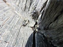 Camponotusnervus vagus stock afbeeldingen