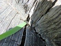 Camponotusvagus Lizenzfreie Stockfotos