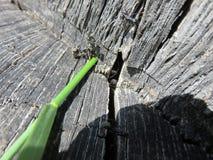 Camponotusvagus Arkivbild