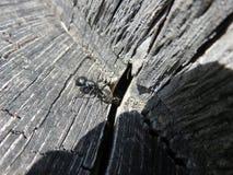 Camponotusvagus Lizenzfreies Stockbild