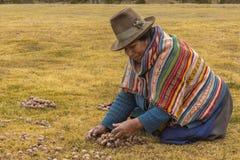 Camponês da mulher que recolhe o Peru de Chincheros Cuzco das batatas do moraya Fotos de Stock