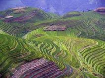 Campos 5 del arroz Imágenes de archivo libres de regalías