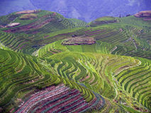 Campos 5 do arroz Imagens de Stock Royalty Free