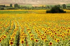 Campos amarelos imagem de stock royalty free