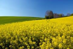 Campos amarelos Fotografia de Stock Royalty Free