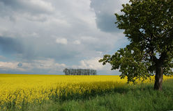 Campos amarelos Fotos de Stock