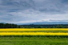 Campos amarelos de Escócia fotos de stock