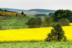 Campos amarelos de Escócia imagens de stock