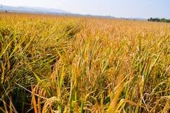 Campos amarelos do arroz no tempo de colheita Fotografia de Stock Royalty Free