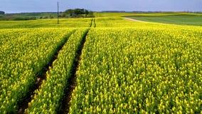 Campos amarelos e verdes da violação no dia ensolarado, vista aérea, Polônia video estoque