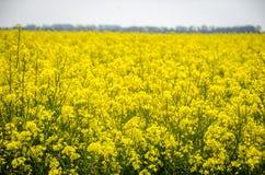 Campos amarelos em Normandy Fotos de Stock Royalty Free