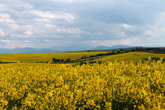Campos amarillos Imagen de archivo libre de regalías
