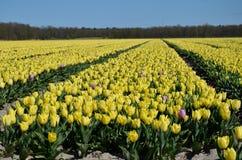 Campos amarillos completamente florecidos del tulipán Fotografía de archivo libre de regalías