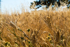 Campos amarillos con el trigo duro maduro, duro del grano, Sicilia, Italia Imagen de archivo libre de regalías