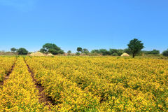 Campos amarillos de la mostaza en la India Imagen de archivo libre de regalías