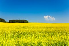 Campos amarillos de la primavera en Bielorrusia Fotografía de archivo