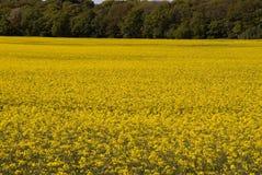 Campos amarillos de la violación Fotos de archivo libres de regalías