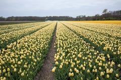 Campos amarillos de los tulipanes del Bollenstreek, Holanda Meridional, Imagenes de archivo