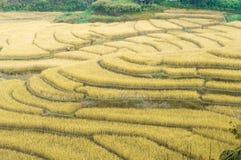 Campos amarillos de oro hermosos del arroz imagen de archivo libre de regalías