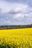 Campos amarillos de Rapesedd Imagen de archivo