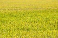 Campos amarillos del arroz. Foto de archivo libre de regalías