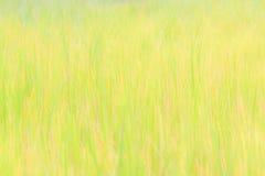 Campos amarillos del arroz Fotos de archivo libres de regalías