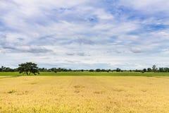 Campos amarillos del arroz y cielo azul Imagenes de archivo
