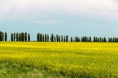 Campos amarillos del canola Fotografía de archivo libre de regalías