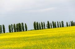 Campos amarillos del canola Fotos de archivo