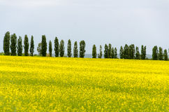 Campos amarillos del canola Imagen de archivo