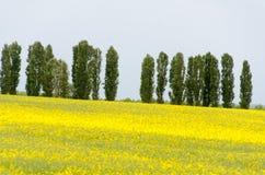 Campos amarillos del canola Imágenes de archivo libres de regalías
