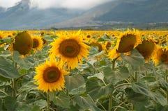 Campos amarillos del girasol en días de verano Foto de archivo libre de regalías