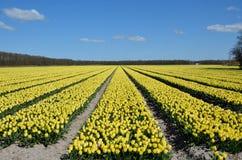 Campos amarillos del tulipán Foto de archivo libre de regalías