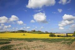 Campos amarillos hermosos de la rabina Fotografía de archivo